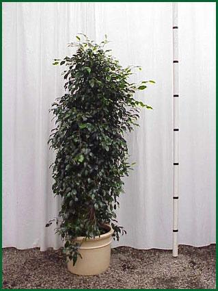 14 Inch Upright Ficus Midnight Column