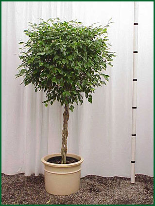 14 Inch Upright Ficus Monique Braid