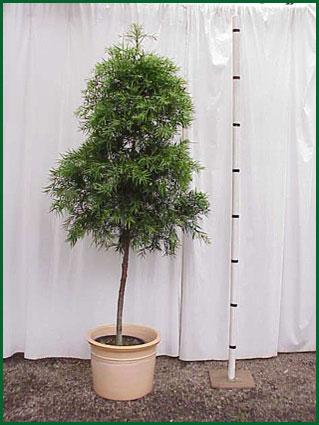 14 Inch Upright Podocarpus Standard