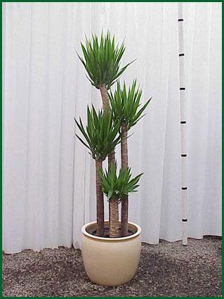 14 Inch Upright Yucca