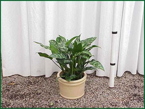 8 Inch Upright Aglaonema Maria