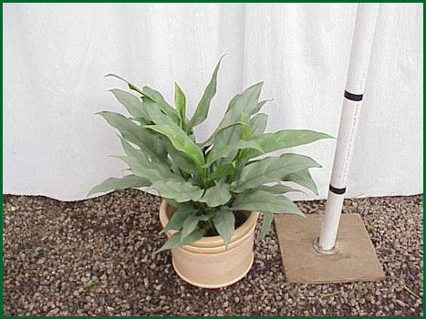 8 Inch Upright Aglaonema Sterling