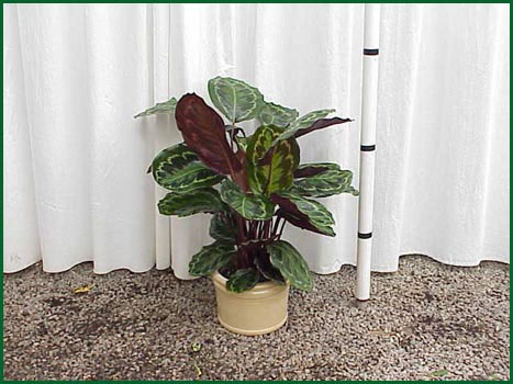 8 Inch Upright Calathea Rosea Picta