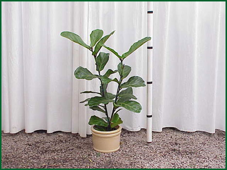 8 Inch Upright Ficus Lyrata Column