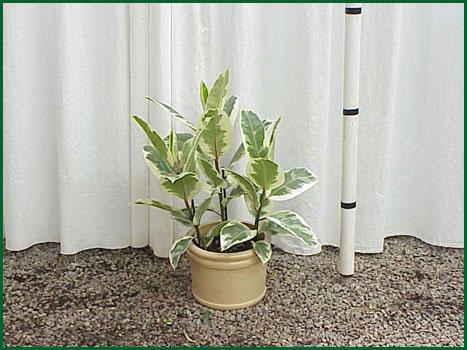 8 Inch Upright Ficus Sylvia