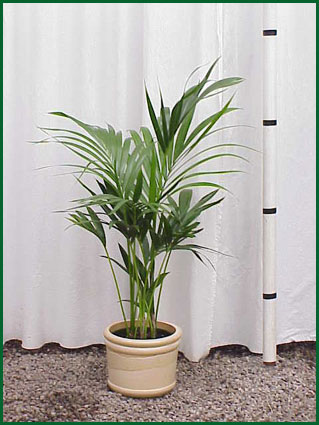 8 Inch Upright Kentia Palm