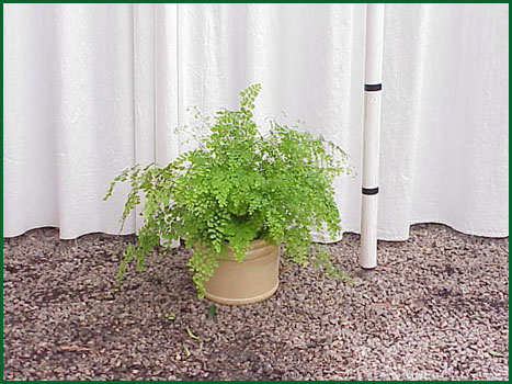 8 Inch Upright Maiden Hair Fern