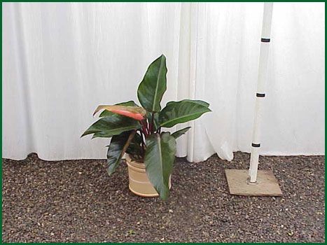 8 Inch Upright Philodendron Congo Rojo
