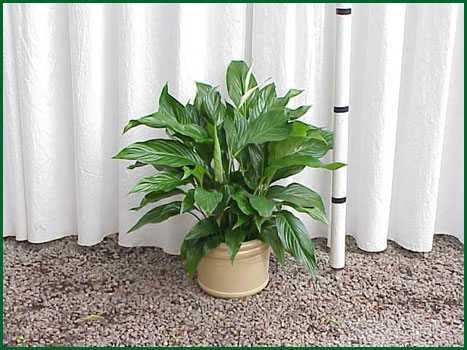 8 Inch Upright Spathiphyllum
