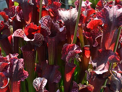 American Pitcher Plant (Sarracenia)