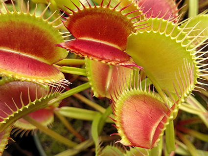 Dionaea M. Red Dragon