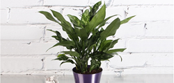 Aglaoneme Chinese Evergreen